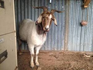 Wether Goat for sale! Nagambie Strathbogie Area Preview
