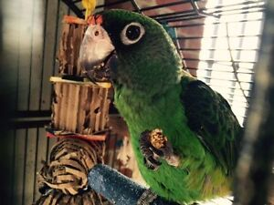 BIG 1YR OLD FRIENDLY PARROT WITH HUGE NEW CAGE