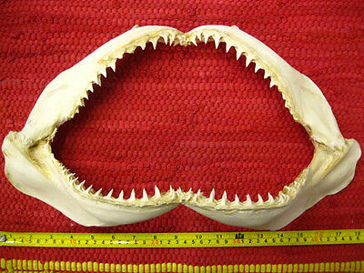 REEF SHARK JAW (43 x 26 cm) Jaws Teeth TAXIDERMY B