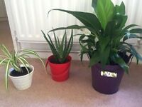 3 indoor plants and pots (Aloe vera, Peace Lily, Spider Plant)