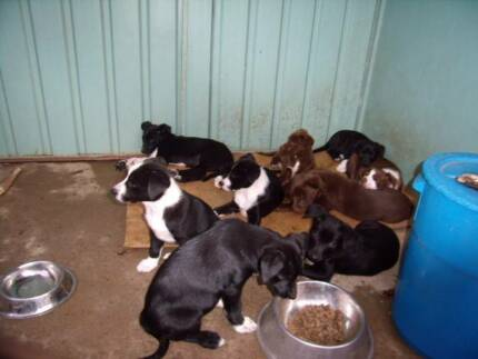 Border Collie x Kelpie/ Collie  Puppies, Working parents Toogoolawah Somerset Area Preview