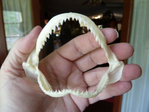 """(SJ440-80) Spottail SHARK 3"""" wide jaw sharks jaws teeth small affordable real"""