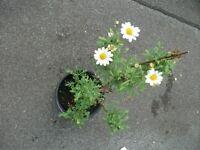 Plant Camomile