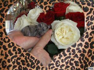 *LA MAISONNÉE* Petits Léopards a vendre  (Chihuahua Arlequin) Saguenay Saguenay-Lac-Saint-Jean image 7