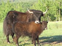 Yak Cow and Calf For Sale