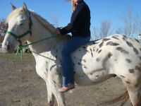WOW!!! Big Gelding for sale Payments OK