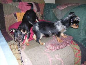 Chorkie pups Merles on black M & F teacup size