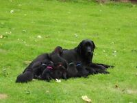 KC registered Labradors puppies for sale