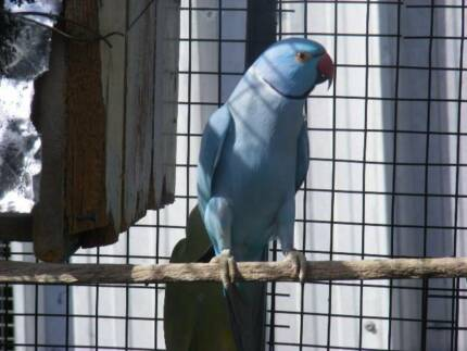 RINGNECKS &LOVEBIRDS  FOR HANDRAISING