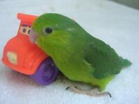 green parrotlet £40 with or without cage CAN DELIVER