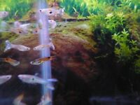 Beautiful Guppies Endlers assorted