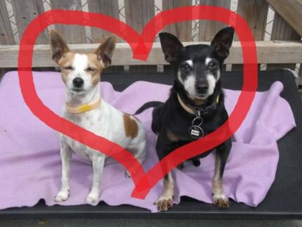 Angelique and Bert Bonded pair Adopt/Foster cat/apartm friendly Ingleside Warringah Area Preview