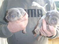 2 LILAC AND TAN MALE FRENCH BULLDOG/PUPPIES