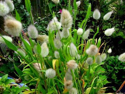 nny Tails kompakt wachsend Ziergras ca 60 Samen (Bunny Tail)