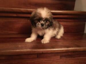 Gorgeous 2 lovable Shih Tzu puppies