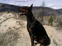 C.K.C Registered Doberman Puppies
