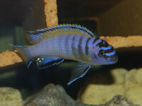 FISH – YELLOW FINNED ELONGATUS CICHLID