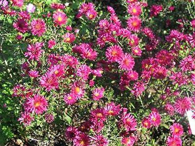 Glattblattaster Aster novi-belgii Royal Ruby Herbstblüher Royal Ruby