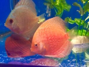High quality Discus Arrived only $ 49.99each