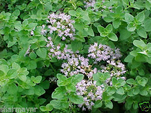 sweet marjoram origanum majorana herb flower seeds ebay. Black Bedroom Furniture Sets. Home Design Ideas