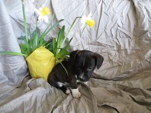 Boston Terrier x Puppies