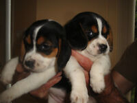 CHIOTS BEAGLE PURE RACE