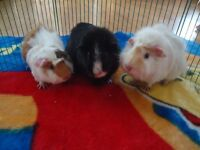 Young Guinea Pigs Ready to Leave
