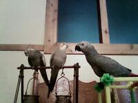 Cockatiel mâle 3 ans, manipulable, parle et siffle