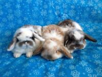 Purebred Holland Lop Bunnies- Ready to Leave!