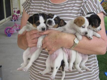 jack russell x foxie Fletcher Newcastle Area Preview