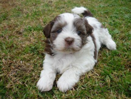 Maltese X Shih Tzu Dogs Puppies Gumtree Australia Dorset Area | Dog ...