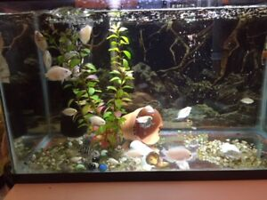 Beautiful convict cichlids to sell