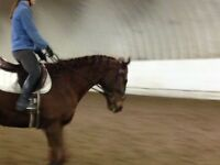 Free Lease 4 year old 15.3 HH Thoroughbred Gelding