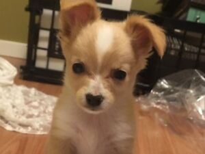 10 WEEK OLD POM-CHI - TINIEST CUTEST PUPPY EVER