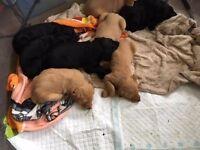 Stunning Labradoodle F1 Puppies
