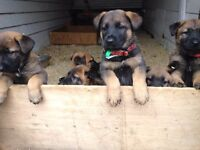 German Shepherd pups -Gorgeous ! exceptionally clever