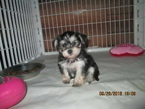 3/4 Yorkie 1/4 Westie delivery available