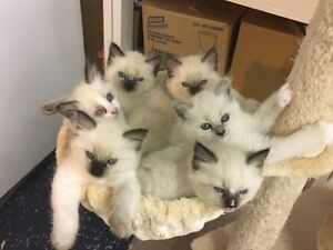 Adorable Ragdoll Kittens Available!