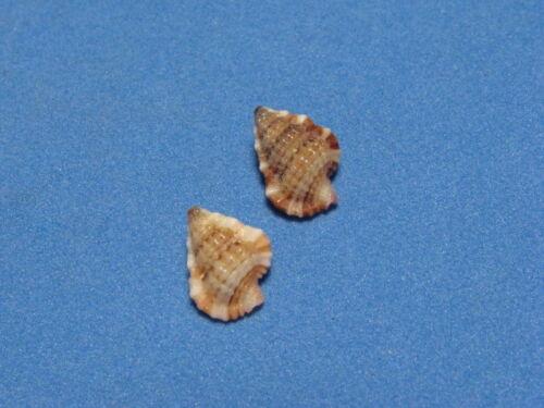 "Gyrenium pusillum (Broderip,1832) ""A BEAUTIFUL COLORED PAIR""  (9.3mm & 10.3mm)"