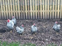 Silver Laced Wyandotte Bantams