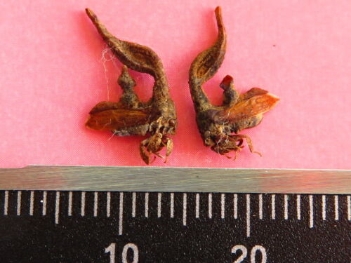 2 MEMBRACIDAE TREEHOPPER-SP  VERY RARE SPECIAL INSECT FROM ATALAYA-PERU  NEW