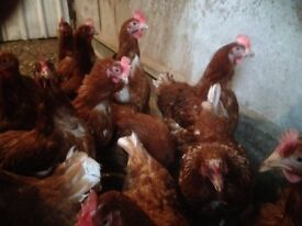 10 brown laying hens
