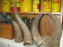 COW HORN COLLECTION 4 HORN SALE THELOT Isaacs Woden Valley Preview