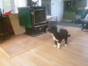 border collie pure rase
