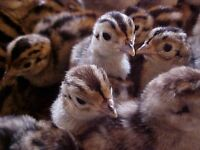Wanted: Ring neck pheasant chicks