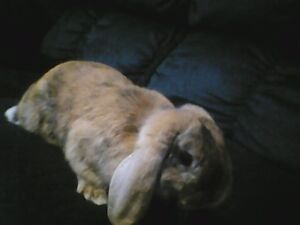 rabbit to give away