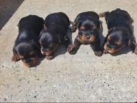 Beautiful mini yorkshire terrier pups