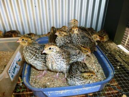 Japanese female quails $10 each Kanimbla Cairns City Preview