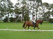 flashy clydie cross qh Millers Forest Maitland Area Preview