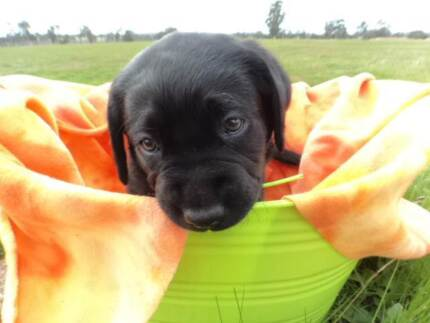 Labrador Puppy for sale West Perth Perth City Preview
